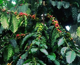 Bella Tica Organic Coffee Process